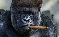 GorillaBlogSized